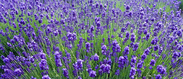 How To Dry Lavender From Your Garden Get Busy Gardening